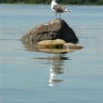 9b. Truten vilar på en av Bakarens stenar