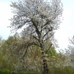 9g. Blommande körsbärsträd.