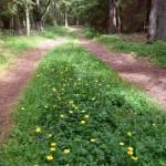 17a. Blommande skogsväg.