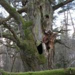 Den gamla eken gapar.
