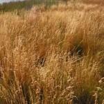 Guldgräs