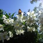 I blommande Smultronjasmin.