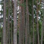4g. Resliga stammar i ett vackert skogsparti.