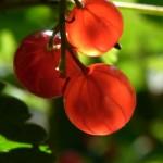 Röda Vinbär