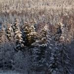 Skogen i vinterskrud