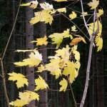 Vinden sliter i gula blad