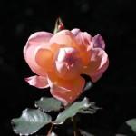 Rosens ansikte